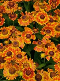 "Dzielżan jesienny 'Fuego'  <div class=""lat""> Helenium autumnale </div>"