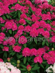 """Rododendron 'Catharina van Tol' <div class=""""lat""""> Rhododendron </div>"""