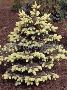 Świerk kłujący 'Białobok' <div class='lat'> Picea pungens </div>