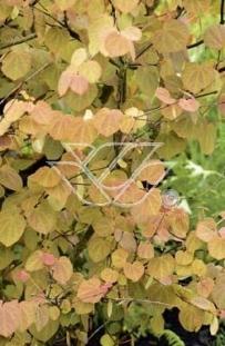 "Grujecznik japoński <div class=""lat""> Cercidiphyllum japonicum  </div>"