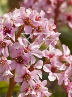 "Bergenia sercolistna <div class=""lat""> Bergenia cordifolia </div>"