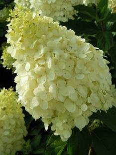 "Hortensja bukietowa 'Polar Bear' <div class=""lat""> Hydrangea paniculata </div>"