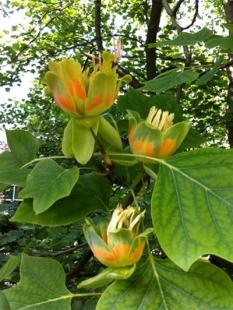 "Tulipanowiec amerykański <div class=""lat""> Liriodendron tulipifera </div>"