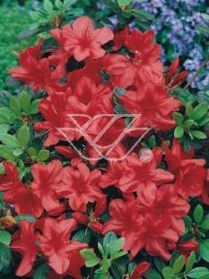 "Azalia japońska 'Geisha Red' <div class=""lat""> Azalea japonica </div>"