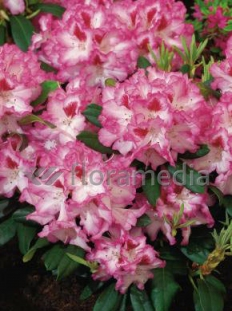 """Rododendron 'Hachmann's Charmant' <div class=""""lat""""> Rhododendron </div>"""