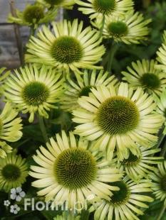 Jeżówka 'Green Jewel' <div class='lat'> Echinacea </div>