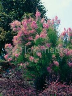 "Tamaryszek pięciopręcikowy 'Pink Cascade' <div class=""lat""> Tamarix ramosissima </div>"