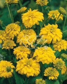 """Rudbekia naga 'Goldquelle' <div class=""""lat""""> Rudbeckia aciniata </div>"""