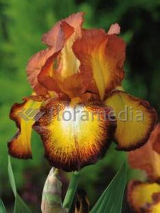 Kosaciec (Irys) bródkowy 'Fire Cracker' <div class='lat'> Iris germanica </div>