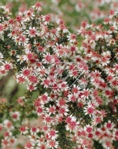 """Aster 'Lady in Black' <div class=""""lat""""> Aster lateriflorus </div>"""