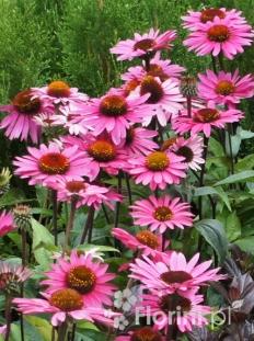 "Jeżówka purpurowa 'Magnus' <div class=""lat""> Echinacea purpurea-p9 </div>"