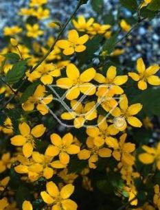 "Złotlin japoński 'Picta' <div class=""lat""> Kerria japonica</div>"