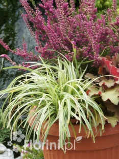 "Turzyca Morrowa 'Silver Sceptre' <div class=""lat""> Carex morrowii </div>"