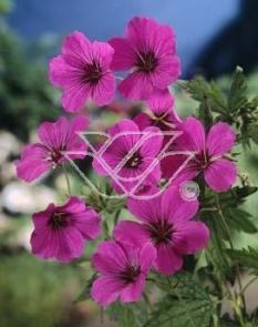 "Bodziszek himalajski 'Patricia' <div class=""lat""> Geranium himalayense </div>"