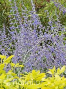 Perowskia łobodolistna <div class='lat'> Perovskia atriplicifolia </div>