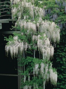 "Glicynia chińska (biała) 'Shiro-Noda' <div class=""lat""> Wisteria sinensis </div>"