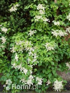 """Hortensja pnąca  <div class=""""lat""""> Hydrangea petiolaris-C3 </div>"""