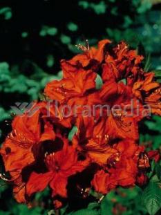 "Azalia wielkokwiatowa 'Feuerwerk' <div class=""lat""> Rhododendron </div>"