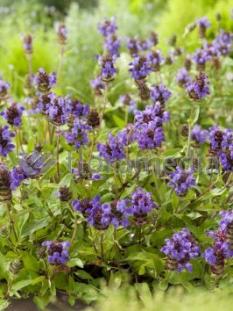 "Głowienka wielkokwiatowa 'Freelander Blue' <div class=""lat""> Prunella grandiflora </div>"