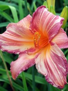 "Liliowiec 'Pink Stripes' <div class=""lat""> Hemerocallis </div>"