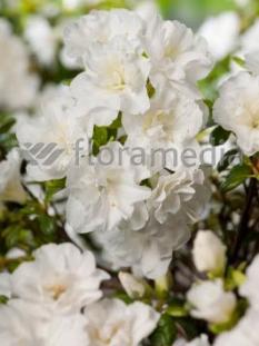 "Azalia japońska 'Eisprinzessin' <div class=""lat""> Azalea japonica </div>"
