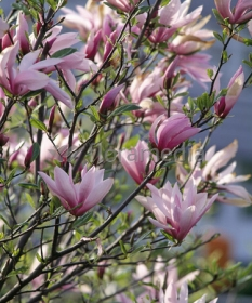 """Magnolia 'Betty' <div class=""""lat""""> Magnolia </div>"""