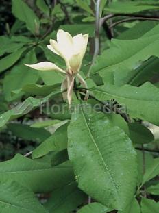 "Magnolia parasolowata <div class=""lat""> Magnolia tripetala </div>"