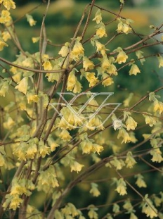 """Leszczynowiec skąpokwiatowy  <div class=""""lat""""> Corylopsis pauciflora </div>"""