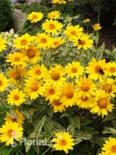 """Słoneczniczek szorstki 'Loraine Sunshine' <div class=""""lat""""> Heliopsis helianthoides-1l </div>"""