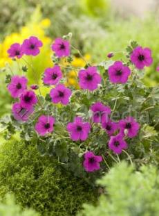 "Bodziszek popielaty 'Splendens' <div class=""lat""> Geranium cinereum </div>"