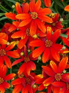 "Nachyłek 'Ladybird'<div class=""lat""> Coreopsis </div>"
