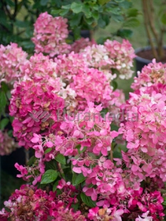 "Hortensja bukietowa 'Diamond Rouge' <div class=""lat""> Hydrangea paniculata</div>"