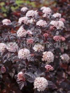 "Pęcherznica kalinolistna 'Lady in Red' ('Tuilad') <div class=""lat""> Physocarpus opulifolius </div>"