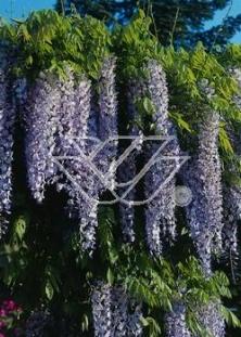 "Glicynia chińska (niebieska) 'Naga Noda' <div class=""lat""> Wisteria sinensis </div>"