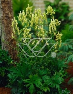 """Tojad lisi <div class=""""lat""""> Aconitum lycoctonum </div>"""