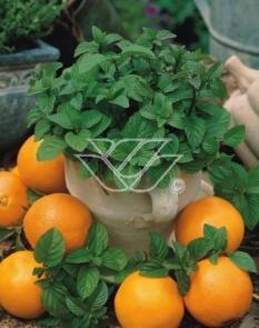 Mięta pomarańczowa 'Granada' <div class='lat'> Mentha x piperita </div>