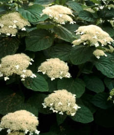 "Hortensja drzewiasta 'White Dome' <div class=""lat""> Hydrangea arborescens </div>"