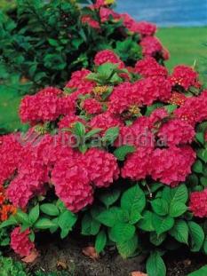 "Hortensja ogrodowa 'Royal Red' <div class=""lat""> Hydrangea macrophylla  </div>"