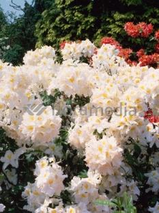 "Azalia wielkokwiatowa 'Schneegold' <div class=""lat""> Rhododendron </div>"
