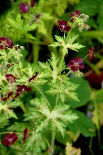 "Bodziszek żałobny 'Springtime' <div class=""lat""> Geranium phaeum </div>"