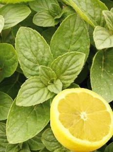 Mięta 'Hillary's Sweet Lemon' <div class='lat'> Mentha species </div>
