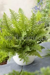 "Narecznica Wallicha <div class=""lat""> Dryopteris wallichiana </div>"