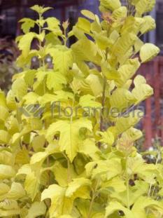 "Kalina koralowa 'Park Harvest' <div class=""lat""> Viburnum opulus </div>"