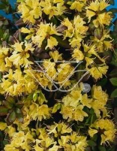 """Różanecznik 'Princess Anne' <div class=""""lat""""> Rhododendron </div>"""