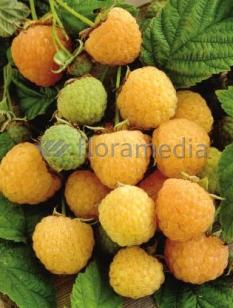 "Malina 'Poranna Rosa' <div class=""lat""> Rubus idaeus </div>"