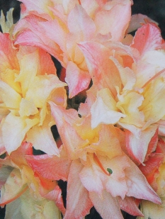 "Azalia wielkokwiatowa 'Cannon's Double' <div class=""lat""> Rhododendron </div>"