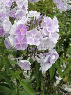 Floks wiechowaty 'Violetta Gloriosa' <div class='lat'> Phlox panniculata </div>