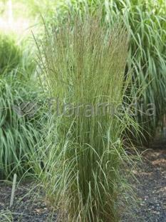 "Trzcinnik ostrokwiatowy 'Overdam' <div class=""lat""> Calamagrostis x acutiflora </div>"
