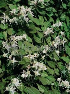 "Epimedium wielkokwiatowe <div class=""lat""> Epimedium grandiflorum </div>"
