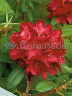 "Różanecznik 'Franscesca' <div class=""lat""> Rhododendron </div>"